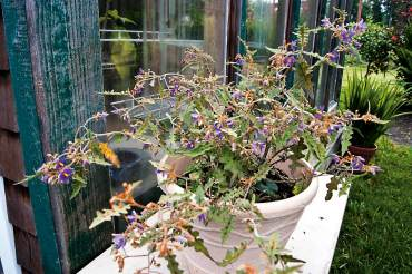 Solanum pyracanthum, porcupine tomato and Solanum quitoense, bed-of-nails Not hardy in the Northwest, these colorful, wickedly prickly novelties never fail to attract attention in a summer container. Can be overwintered in the house or greenhouse.