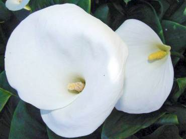 Zantedeschia aethiopica, common calla A reliable garden staple that thrives in damp soil. In the Pacific Northwest, grow them in part shade or, if the ground stays moist year-round, full sun.