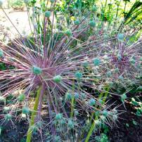 Allium christophii, Star of Persia As beautiful in death as in life, these and many other ornamental alliums leave behind persistent seed heads after the purple flowers have faded. Full sun. Dry soil during summer dormancy and a well-drained site or dig-and-store for winter.
