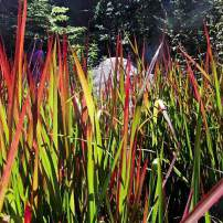 "Imperata cylindrical ""Rubra,"" Japanese blood grass The ruby hues of blood grass deepen as fall arrives. A low-growing grass to 18 inches that spreads by runners. Striking in large swathes, especially when backlit by the sun."