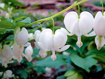 "Dicentra spectablis, common bleeding heart A great garden plant for partially shady sites on the Kitsap Peninsula. Varieties include a white-flowered form and the excellent, chartreuse-foliaged ""Gold Heart."""