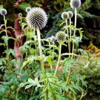 Echinops ritro, globe thistle Metallic-blue, spherical flowers are long-lasting and attract butterflies. Full sun and dry to moist (but not wet) soil. These well-behaved perennials grow into large clumps, but don't spread themselves around the garden. Easy to grow. The flowers can be dried.