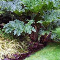 Gunnera manicata, dinosaur food Growing to 8 feet tall with leaves the size of patio umbrellas, these jaw-dropping plants want space, boggy soil and full sun to light shade. To keep the leaves at maximum size, feed gunnera during the growing season.