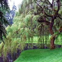 Salix babylonica, weeping willow Fast-growing weeping willows are the classic pond-side tree. Grow them in full sun with lots of water.