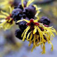 Hamamelis x intermedia, witch hazel Small trees, choice in the Pacific Northwest. Shredded-cheese blossoms in yellows and bronzes appear at the end of winter and last for several weeks. Most varieties are fragrant. They take full sun or partial shade.
