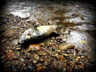 Dead chum salmon (Oncorhynchus keta)
