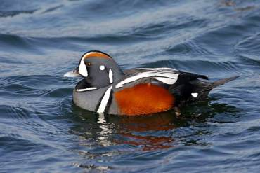 A Harlequin Duck. From the West Sound Home & Garden blog.
