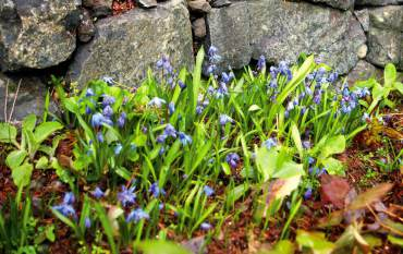 Chionodoxa (Glory of the Snow) bulbs are electric in spring.