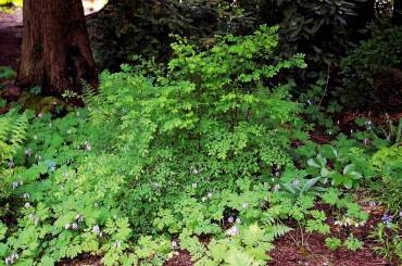 Native deciduous huckleberry bushes and a mix of perennials thrive in the shade of hemlocks and Douglas firs.