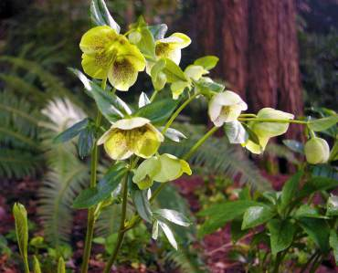 Hellebore flowers catch early spring light.