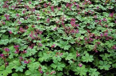 Geranium x cantabrigiense hybrid makes a fine evergreen groundcover under trees.