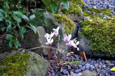 Cyclamen flowers brighten a dark spot.
