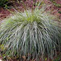 """Sweet, evergreen mound of Carex conica """"Variegata"""" (Sedge) in full shade"""
