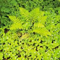 Native Trientalis (starflower) coats the ground around a Korean rock fern.