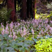 "A colony of spring-blooming Tiarella cordifolia ""Brandywine"" grows under western hemlocks with the help of summer irrigation."