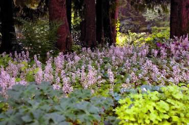 "A colony of spring-blooming Tiarella cordifolia ""Brandywine"" grows under western hemlocks with the help of summer irrigation."