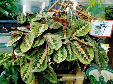 Maranta tricolor (prayer plant)