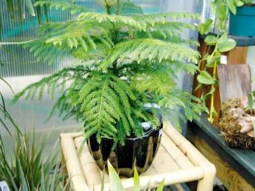 Norwich pine
