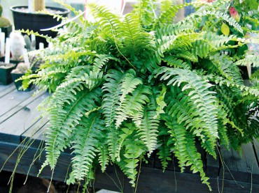 Hephrolepsis exatata bostoniensis (Boston Fern)