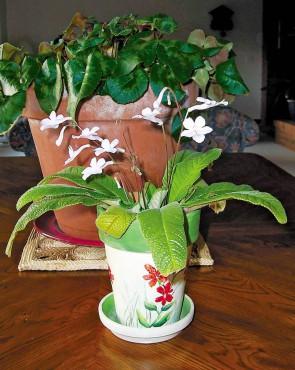 Cyclamen & Streptocarpus