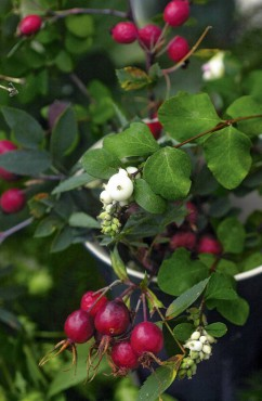 Rose hips and native snowberry hang like jewels from branches.