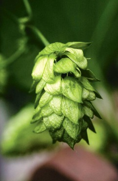 The fragrant tissue-like cones of a hop vine can be wrapped fresh around grapevine wreaths.