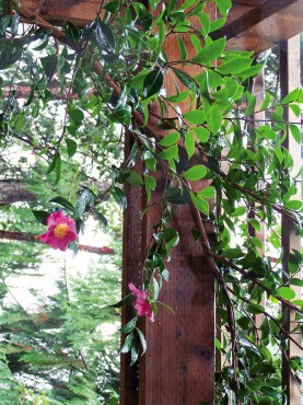Camellia on a pergola