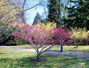 Witchhazel grove