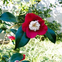 Winter blooming camellia
