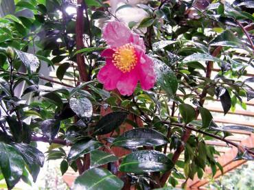 Camellia sasasqua