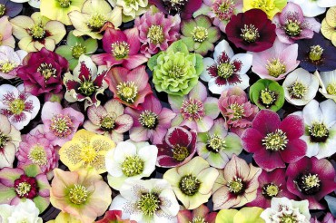 Hellebores abound