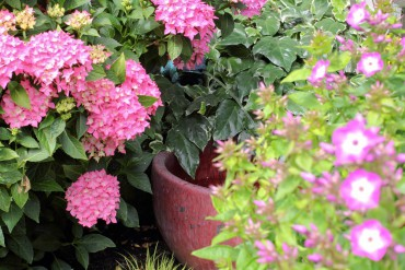 Hydrangea 'Pia'