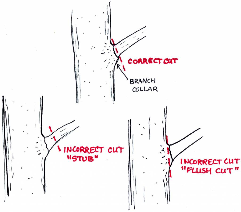 33 how to prune a plum tree diagram
