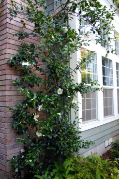 Camellia 'Setsugekka' was espeliered and grows next to the entrance of this home.