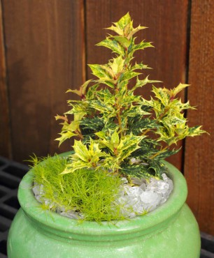False holly (Osmanthus 'Goshiki') with Scotch moss (Sagina subulata 'Aurea') at its feet