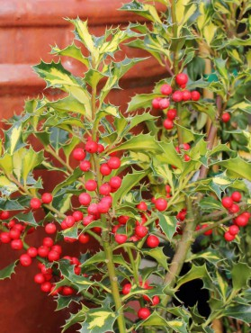 Ilex 'Northern Lights'