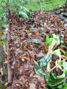 Fall planted garlic mulched with chopped maple leaves.