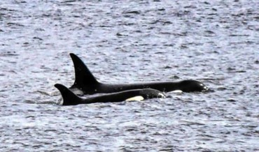 Orca whales sighted in Gig Harbor area (Photo by Katie Schmetzer)