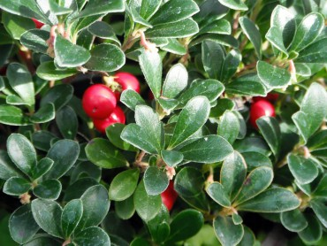 Kinnikinnick or bearberry, Arctostaphylos uva-ursi. One of the common names, the genus and species all are different words that mean bearberry.