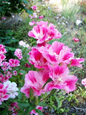 Farewell-to-spring, Clarkia amoena. This genus was named for William Clark.