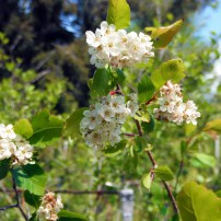 Western hawthorn, Crataegus douglasii, is one of the many plants named after David Douglas.
