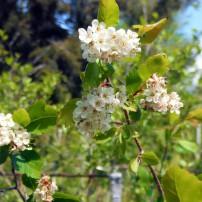 Western hawthorn, Crataegus douglasii, is one of the many plants named after David Douglas.