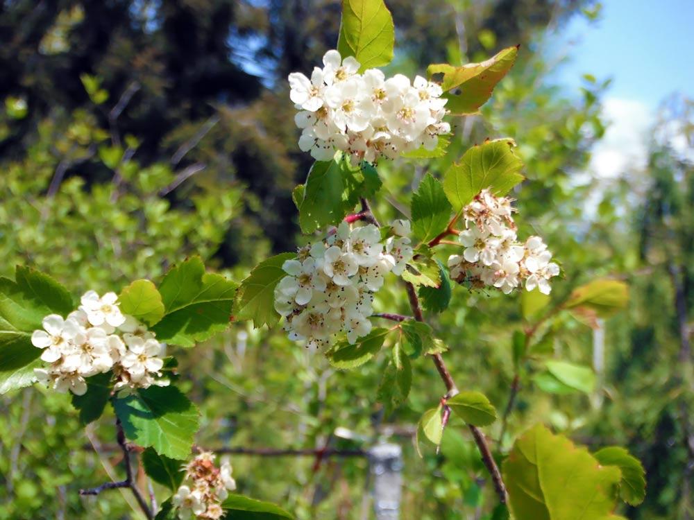 Wshgnet Blog Scientific Names Of Plants Demystified Featured