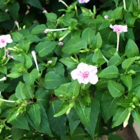 Four o'clocks — Mirabilis jalapa