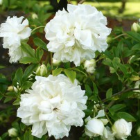 Heirloom rose 'Fortuniana' introduced in 1850s — climbs to at least 20 feet