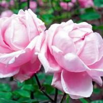 'Mme Caroline Testout,' climbing rose