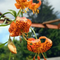 Tiger lily, Lilium columbianum. This species was named for the Columbia River, which was named for Robert Gray's ship, which in turn was named after Christopher Columbus.