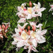 Western azalea, Rhododendron occidentale. Occidental means western.