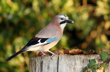 Jay on Fence Post