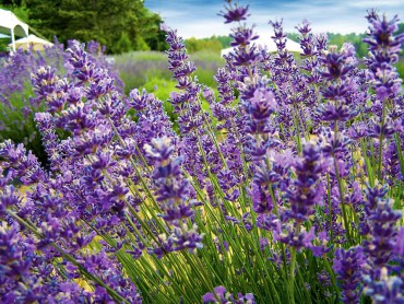 "Lavender is given the meaning ""devotion"" yet also symbolizes ""distrust"" after a Victorian legend that the dangerous Asp that killed Cleopatra hid under a lavender bush."